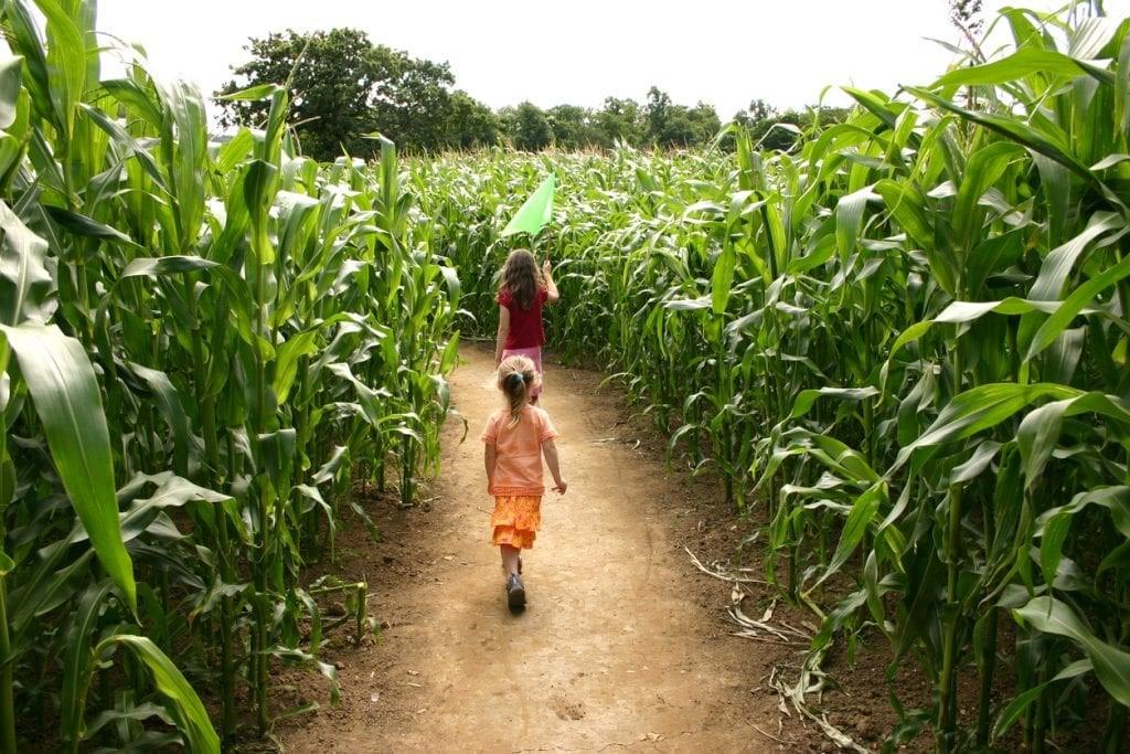 Kids walking through corn maze at Hurd's Family Farm in Modena, New York